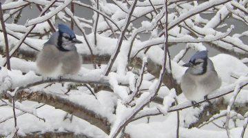 2 bluejays in a snowy tree