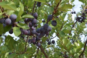 Beach plums growing on a tree