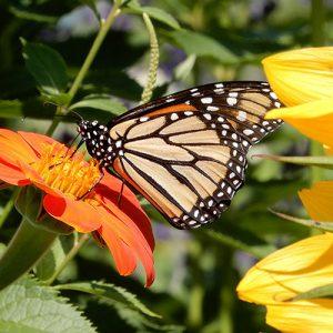monarch butterfly on fall flowers