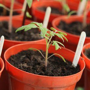seedlings in small pots