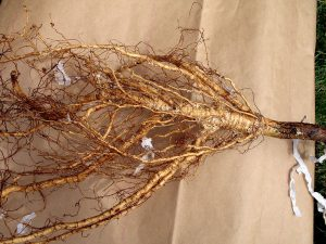 Bare-root apple tree unwrapped in preparation for planting