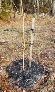 Recently planted and staked bare-root willow tree