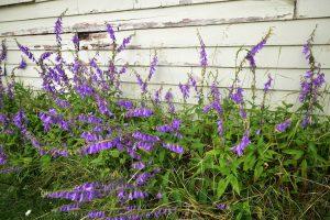 Creeping Bellflower (Campanula rapunculoides)