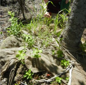Invasive plants growing in the rootball of another plant