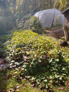 Sweet potato vines in garden