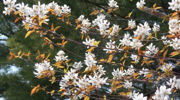 serviceshadbush in flower