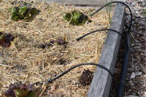 Drip irrigation in raised bed garden