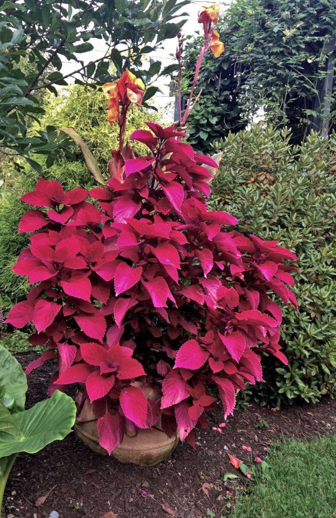 Solenostemon 'Redhead' (coleus)