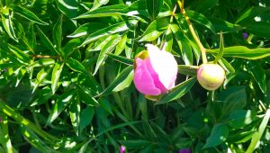 """peony blossom at """"marshmallow"""" stage"""