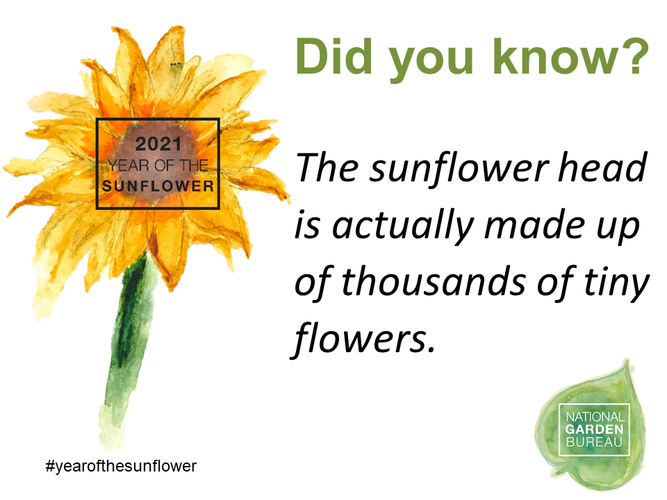 Did you know? The sunflower head is actually made up of thousands of tiny flowers.