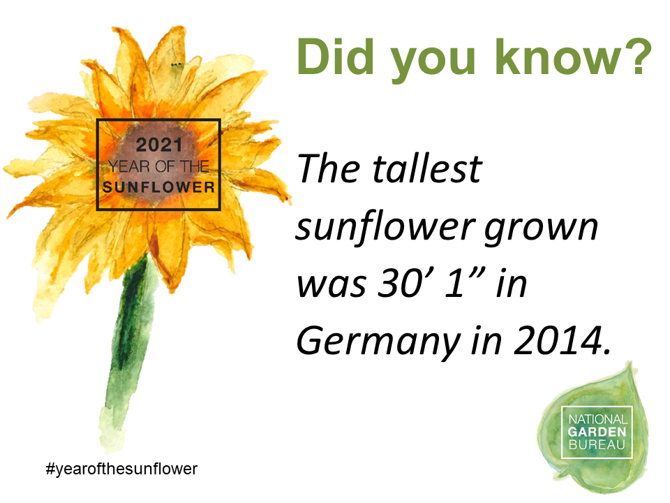 """Did you know? The tallest sunflower grown was 30' 1"""" in Germany in 2014"""