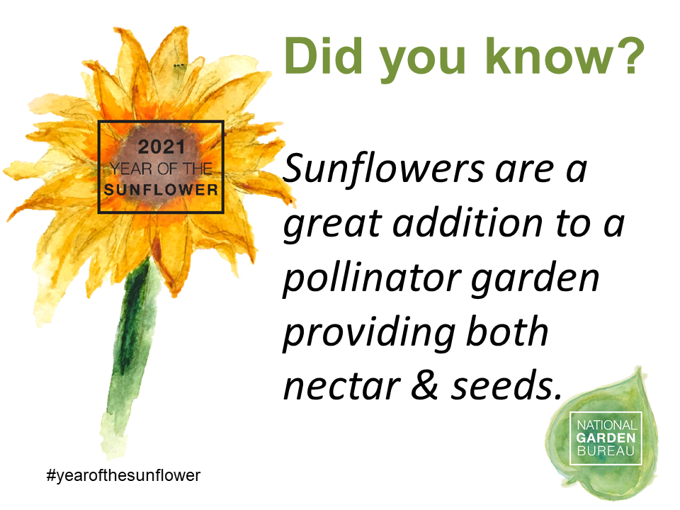 Did you know? Sunflowers are a great addition to a pollinator garden providing both nectar and seeds.