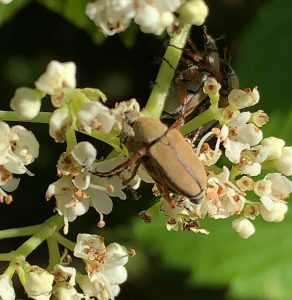 Insect: Rose Chafer (Macrodactylus subspinosus)