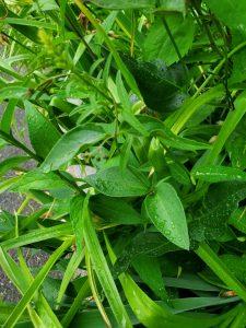 Swallow wort plant