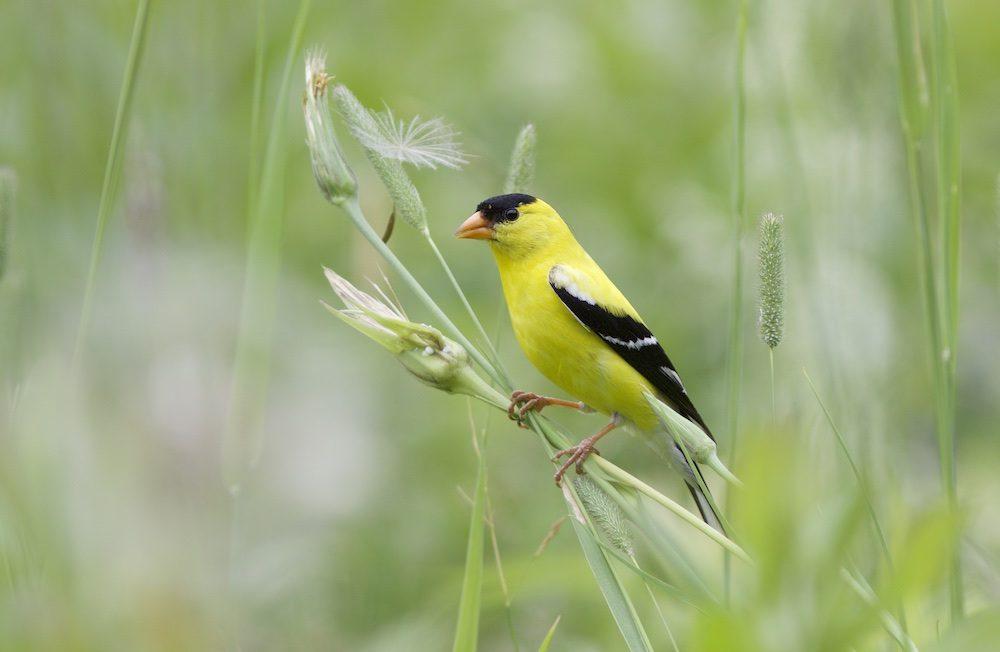 American Goldfinch (adult male) - Doug Hitchcox