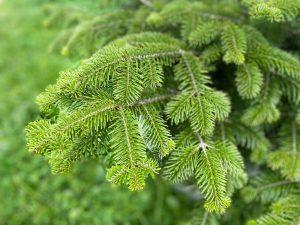 Balsam Fir branches
