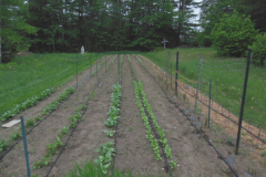 This vegetable garden uses drip irrigation to save water, keep leaves dry to cut down on foliar diseases, and save labor.