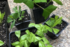Propagating basil, azalea, rhododendron, hydrangea and begonia with cuttings. Leaves trimmed to reduce water loss.