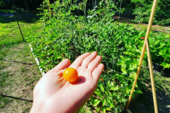First Sungold tomato of the season in front of a raised bed featuring a trellis system for tomatoes.