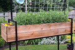 Accessible elevated raised-bed garden made of recycled steel signposts and rough-cut hemlock filled with trellised peas and marigolds.