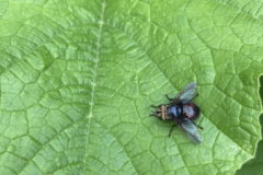 Not every beneficial insect is as showy as a butterfly, like this tachinid fly.