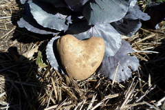 This heart-shaped potato, 'King Harry' variety, shown resting against a head of purple cabbage, was grown without pesticides.