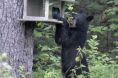 Removing bird feeders during summer months is the best way to avoid bear damage to feeders and property. Even empty feeders can be enticing. Feed birds in winter when bears are not active.