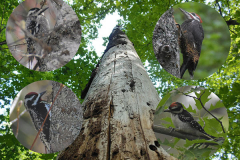 Snag trees (dead trees left standing to decompose), like the one in this picture, provide habitat for woodpeckers (pictured) and bats that nest under the loose bark.