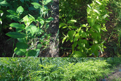 The northernmost row of this garden uses the shade provided by tall crops as a location for a nursery of native shrubs like chokeberry (Aronia), red-osier dogwood (Swida sericea) and elderberry (Sambucus).
