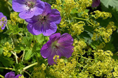 The purple flowers of Geranium 'Azure Rush' are highlighted against a backdrop of yellow green Alchemilla mollis blooms.