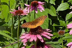 Echinacea is a wonderful plant for attracting butterflies to the garden, and the seed heads are also a food source for birds.