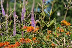 Asclepias tuberosa and Veronica (speedwell) attract and support pollinators in the garden.