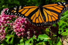 A monarch rests on Asclepias incarnata, swamp milkweed.