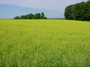 field of flowering canola