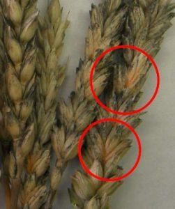 Severe cases of Fusarium Head Scab