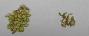 healthy grains on left; smaller grains affected by Fusarium Head Scab on right