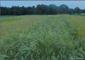 Hard red spring wheat trial in Sidney, Maine.