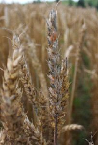Fusarium head blight on spring wheat grown in the Old Town trial.