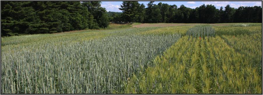 Spring wheat varieties growing in Sidney, Maine.