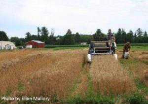 Harvesting the Old Town trial. Photo by Ellen Mallory.