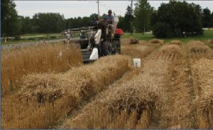Harvesting the Old Town trial.