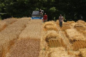 Harvesting the winter wheat variety trial in Old Town, Maine.