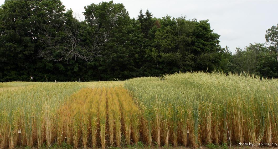 wheat trials. Photo by Ellen Mallory.