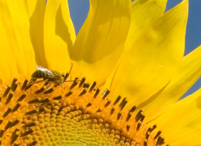 bee on sunflower; photo by Edwin Remsberg