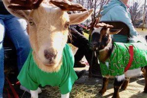 Goats Dressed Up as Reindeers in the Ellsworth Christmas Parade