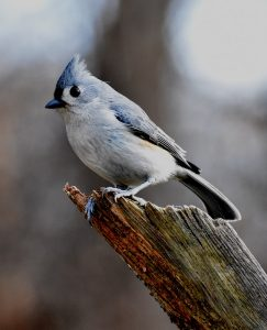 Tufted Titmouse sitting on branch