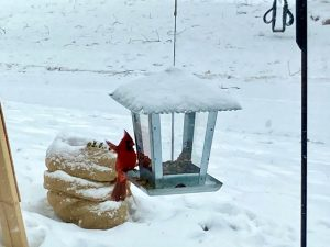 Cardinal - Bird Chats SPIN club
