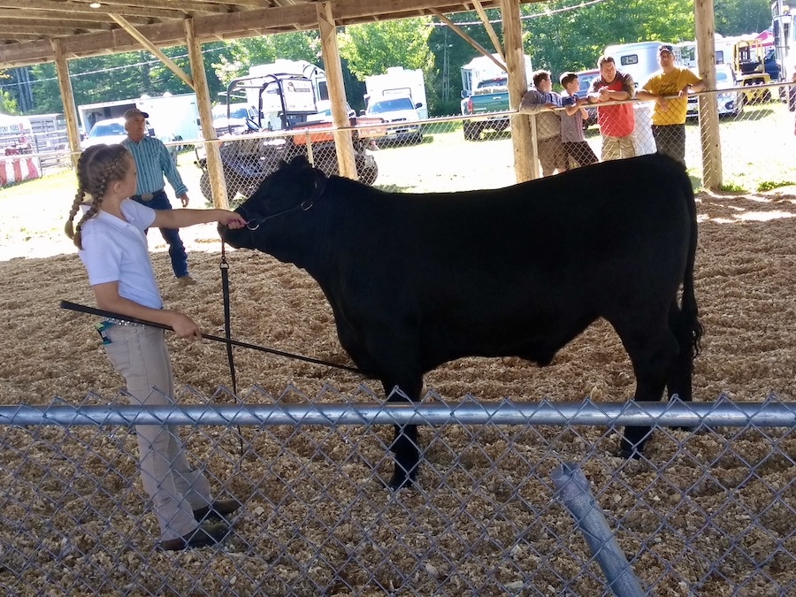 4-H youth showing a cow