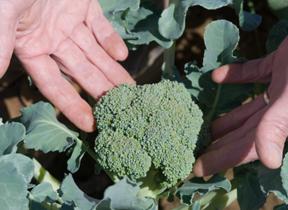 broccoli; photo by Edwin Remsberg, USDA