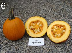 pumpkin cultivar 'Fall Splendor'